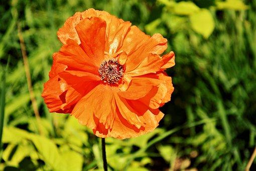 Poppy, Flower, Red, Bloom, Blossom, Bee, Nectar, Pollen