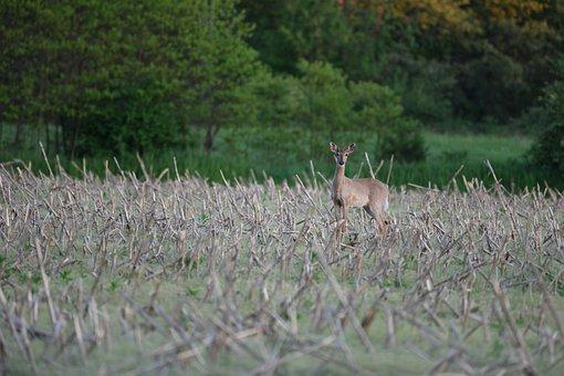 Buck, Deer, Wildlife
