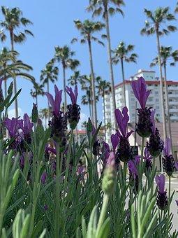 Zushi Marina, Lavender, Palm Trees, Resort, Flower