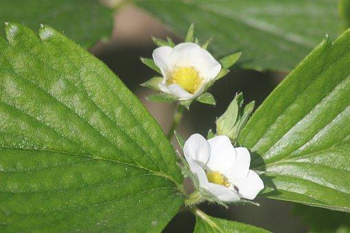 Flower, Strawberry, Sheet, Flowers, Strawberries, Plant