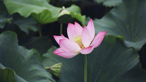 Flower, Flowering, Leaf, Natural, In Full Bloom, Lotus