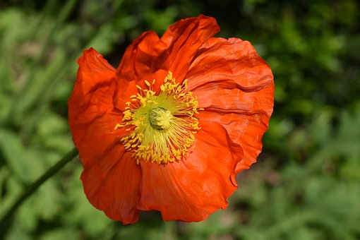 Flower, Poppy Flower, Garden, Plant, Red Color, Stamens