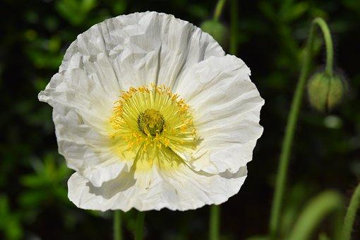 Flower, Poppy Flower, Button Poppy, Garden, Plant