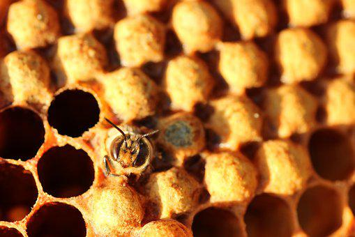 Drone, Bee, Hatch, Always, Honey, Insect, Close Up