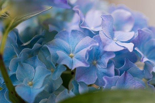 Hydrangea, Blossom, Bloom, Flower, Nature, Blue, Flora