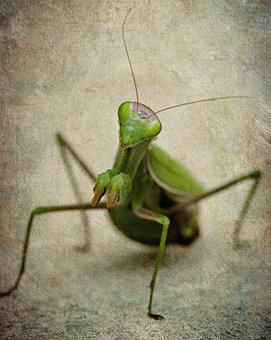Mantis, Insect, Female, Green, Praying, Nature, Bugs