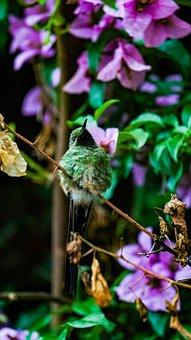 Furry, Hummingbird, Portrait, Nature, Beak, Colors