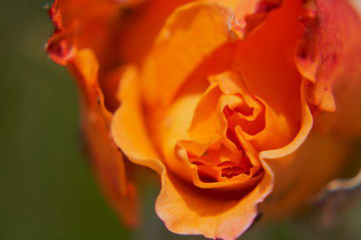 Rose, Blossom, Bloom, Orange, Red, Romance, Love