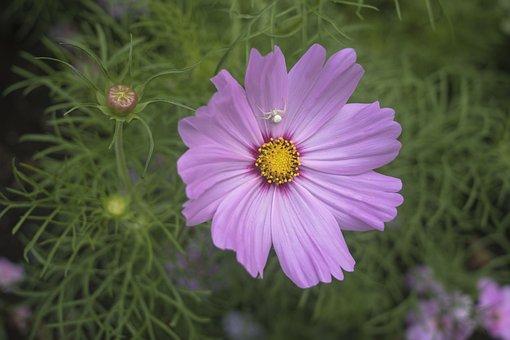 White Spider, Violet, Purple, Daisy Flower, Floral