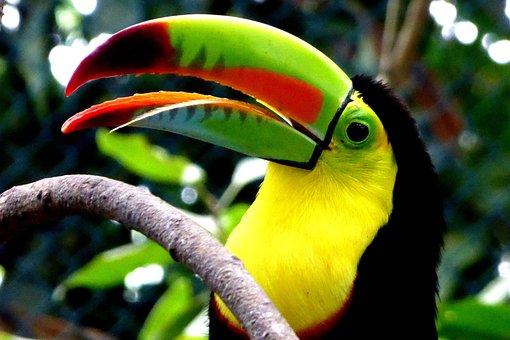 Toucan, Colombia, Ramphastidae, Woodpecker Bird, Bill