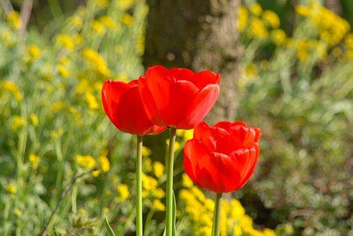 Poppy, Poppies, Flower, Flowers, Red Flower