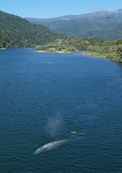 California Gray Whale, Whale, River, Klamath River