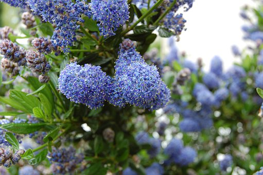 Flower, Blue, Shrub, Garden, Céanothe, Spring, Summer