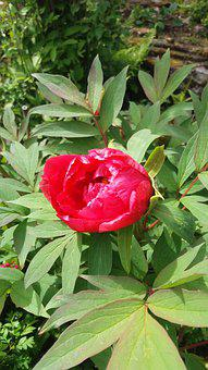 Pion, Bush, Flowering, Trädpion