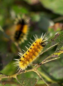 Woolly Bears, Caterpillar, Nature, Fuzzy, Larvae