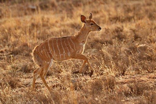 Nyala, Antelope, Nyalababy, Baby Animal, Baby, Mammal