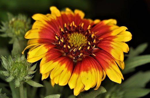 Flower, Red, Yellow, Garden, Bloom, Petals, Plant