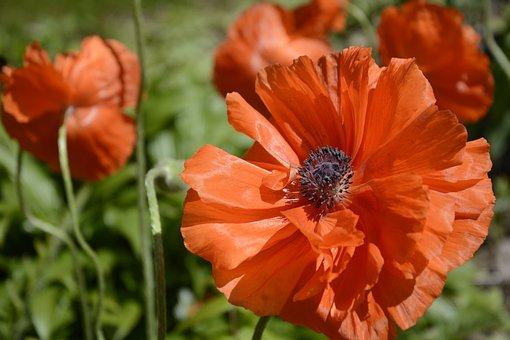 Poppies, Flowers, Red, Blossom, Pollen, Closeup, Stamen
