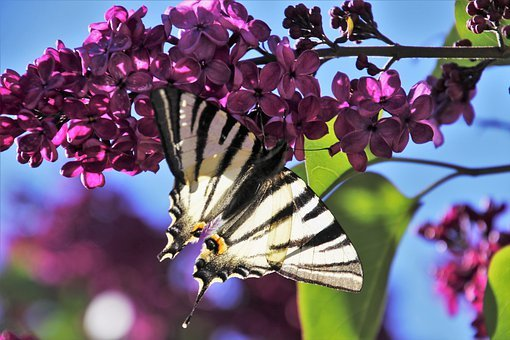 Spring, Lilac, Butterfly, The Smell Of, May, Without