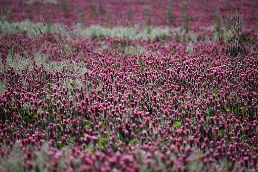 Crimson, Clover, Plant, Flowers, Bloom, Red, Purple