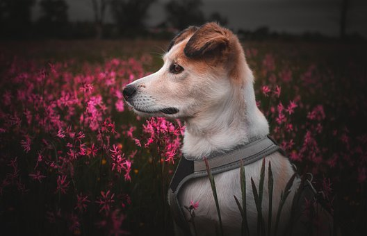 Doggy, Dog, Nice, Portrait, Animal, Pet, Comrade, Coat