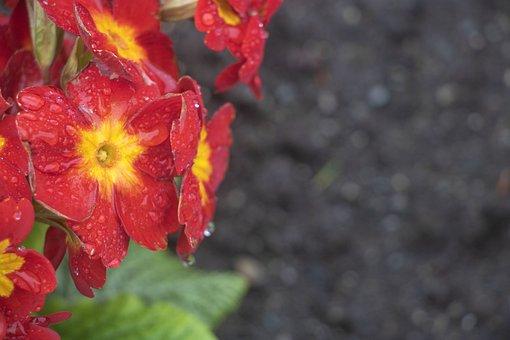 Pansies, Red, Yellow, Flower, Floral, Garden, Petal