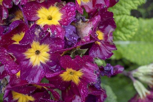 Pansies, Purple, Yellow, Flower, Floral, Garden, Petal