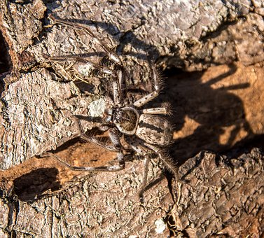 Spider, Banded Hunstman, Holconia Immanis, Large, Brown