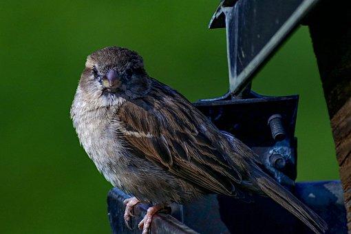 House Sparrow, Bird, Sparrow, Songbird, Close Up