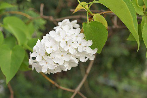 Lilac, White, Tree, Flowers, Garden, Bud, Bush, Nature