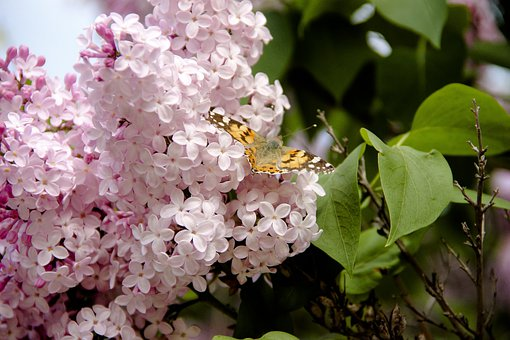 Lilac, Butterfly, Summer, Insect, Nature, Flower, Bloom