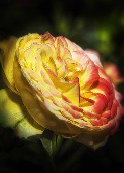 Rose, Flower, Blossom, Bloom, Nature, Romantic, Love
