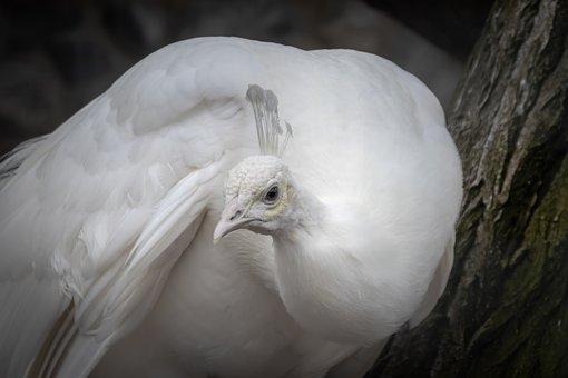 Peacock, White, Bird, Animal, Plumage, Feather, Nature