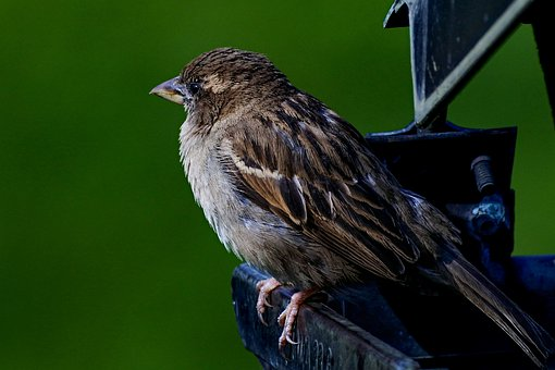 Sparrow, Bird, Sperling, Plumage, The Cheeky Sparrow