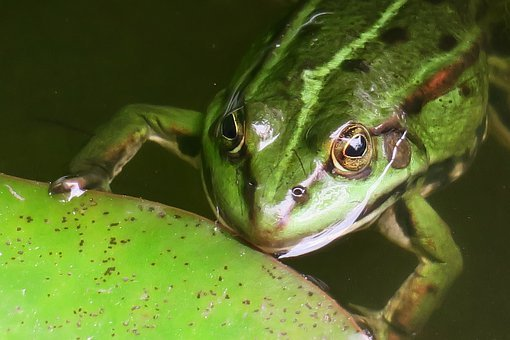 Frog, Watch, Hold Tight, Look, Pond, Water Frog