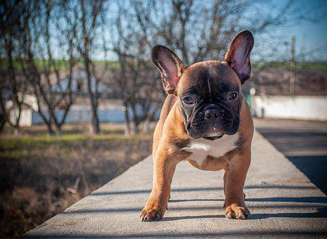 French Bulldog, Puppy, Pet, Animal, Pedigree Dog