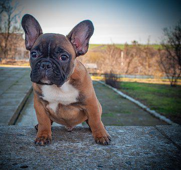 French Bulldog, Puppy, Pet, Animal, Pedigree, Purebred