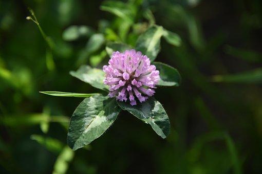 Clover, Plant, Flowers, Bloom, Purple, Field, Grassland
