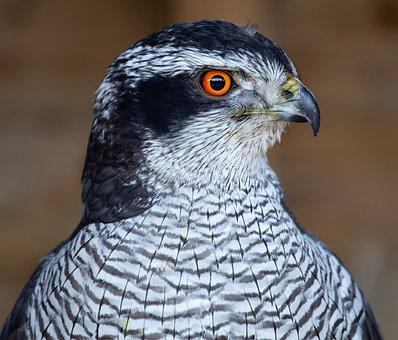 Hawk, Raptor, Feathers, Bird, Hunter, Predator