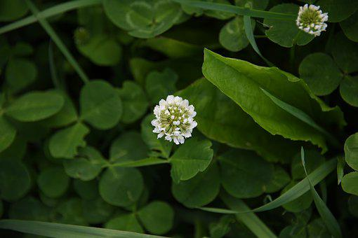 White, Clover, Plant, Flowers, Bloom, Red, Purple