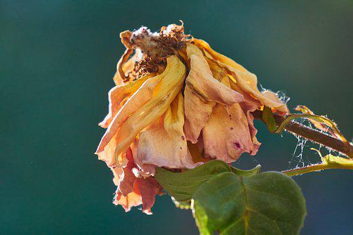 Rose, Blossom, Bloom, Transient, Faded, Close Up, Macro