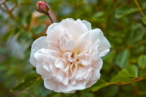 Flowers, Roses, Provence-rose, Romance, Blossom, Bloom