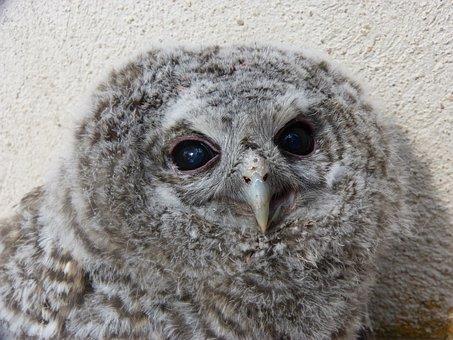 Tawny Owl, Gamarús, Chicken, Down