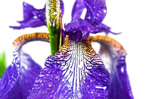 Iris, Violet, Dwarf Lily, Russian, Flower, Plant