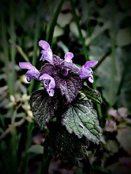 Taubnessel, Purple, Green, Plant, Wildflower, Wild