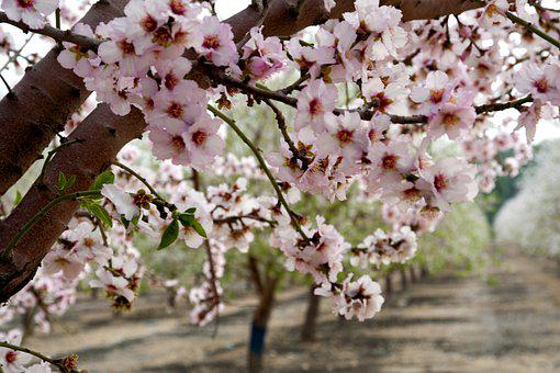 Almonds, Flowers, Trees, Orchard, Pink, Blossom, Nature