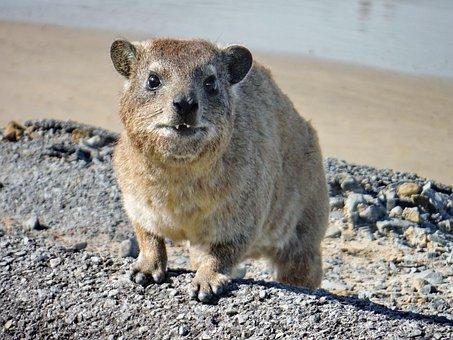 The, Hyrax, Marmot, Animal, Animal Portrait, Portrait