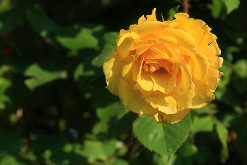 Rose, Yellow, Beautiful, Spring, Nature, Love, Romantic