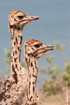 Ostriches, Young Ostriches, Portrait, Bird