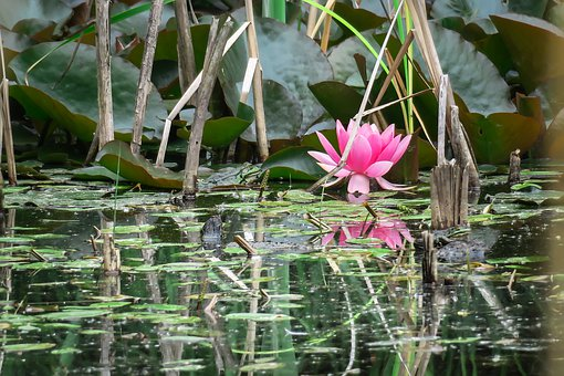 Water Lily, Frog, Blossom, Bloom, Pond, Bloom